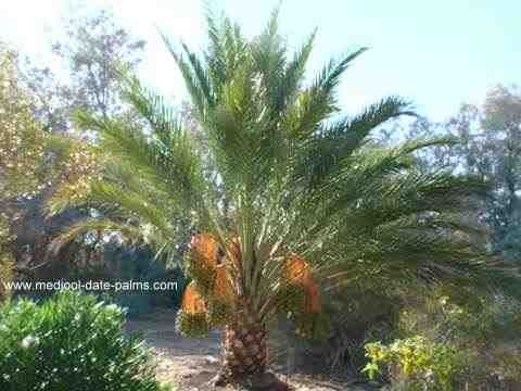 Medjool Date Palm with Dates Growing at a Southern California Residence